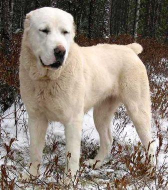 Central Asian Shepherd Dog Dogs