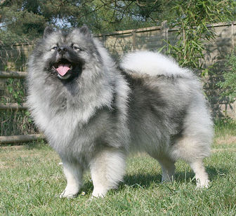 Keeshond Puppies on Keeshond   Dogs